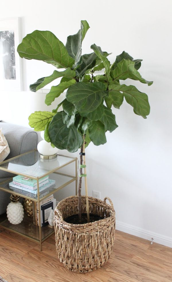 How to Care for Your Fiddle Leaf Fig Tree